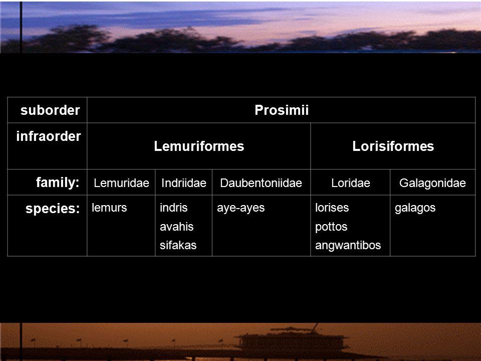 Prosimii Lemuriformes Lorisiformes