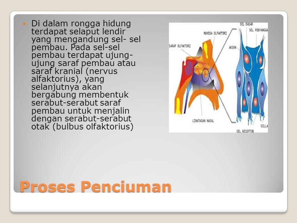 Di dalam rongga hidung terdapat selaput lendir yang mengandung sel- sel pembau. Pada sel-sel pembau terdapat ujung- ujung saraf pembau atau saraf kranial (nervus alfaktorius), yang selanjutnya akan bergabung membentuk serabut-serabut saraf pembau untuk menjalin dengan serabut-serabut otak (bulbus olfaktorius)