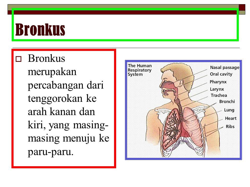 Bronkus Bronkus merupakan percabangan dari tenggorokan ke arah kanan dan kiri, yang masing-masing menuju ke paru-paru.