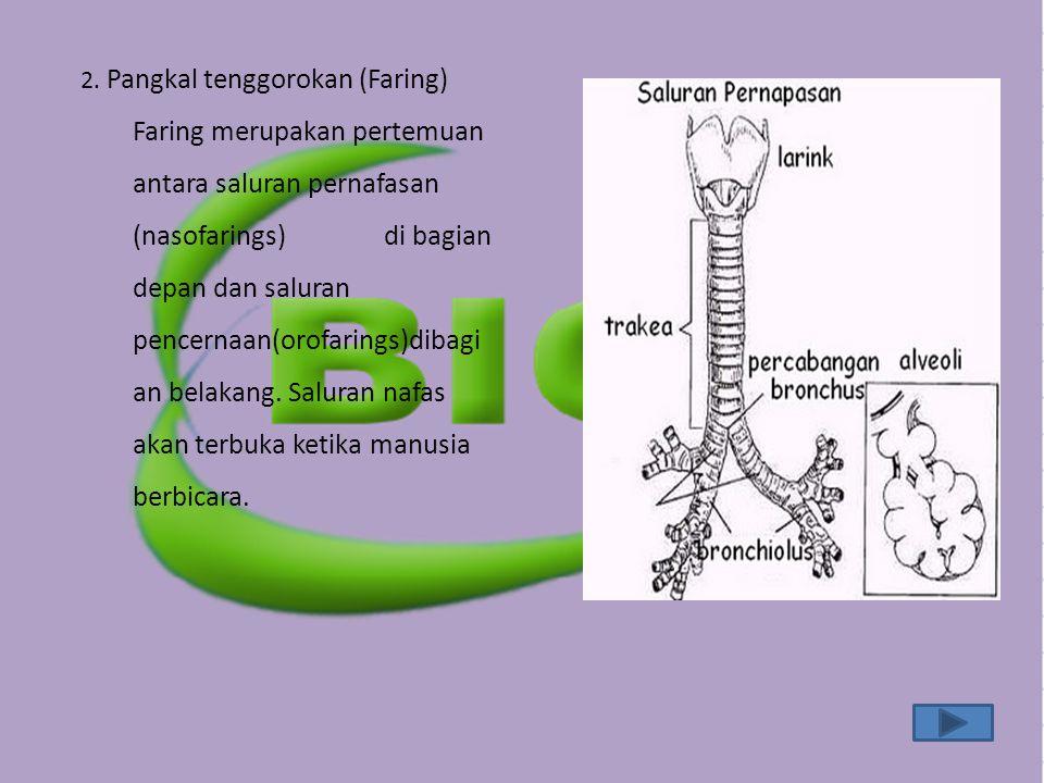 2. Pangkal tenggorokan (Faring)