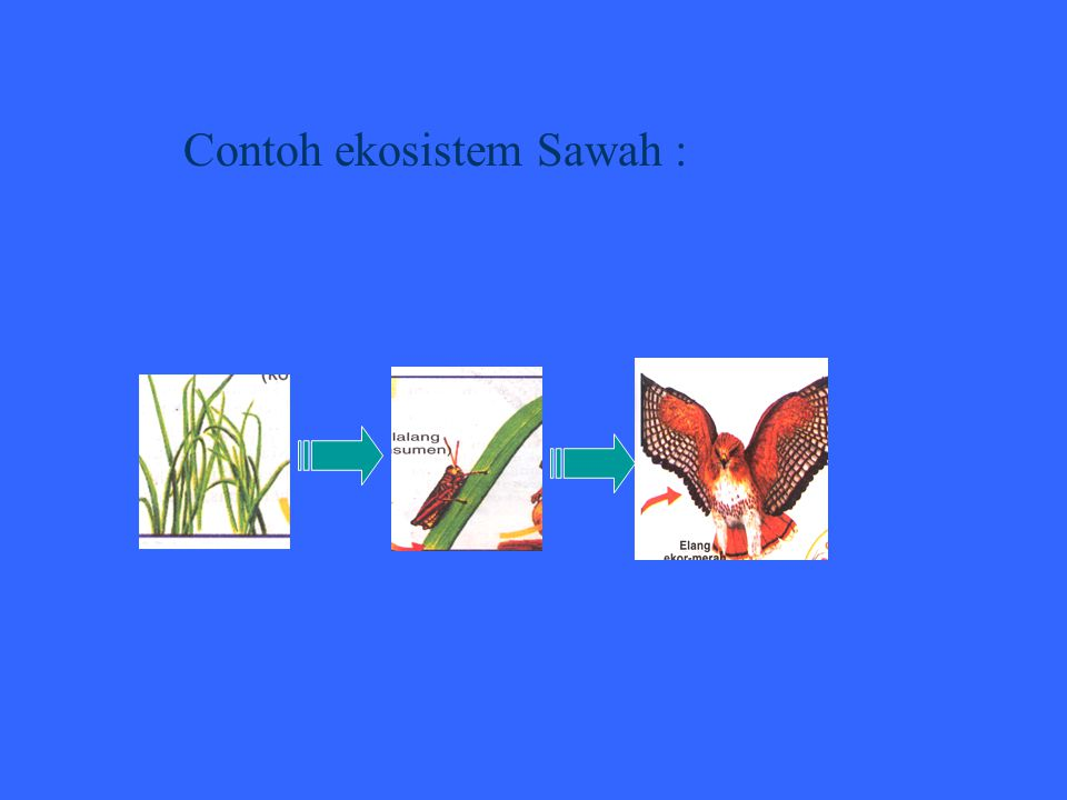 Contoh ekosistem Sawah :
