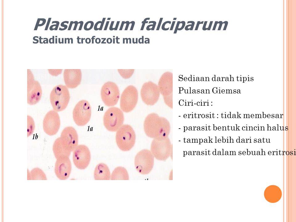 Plasmodium falciparum Stadium trofozoit muda