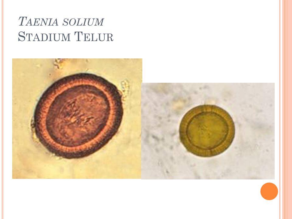 Taenia solium Stadium Telur