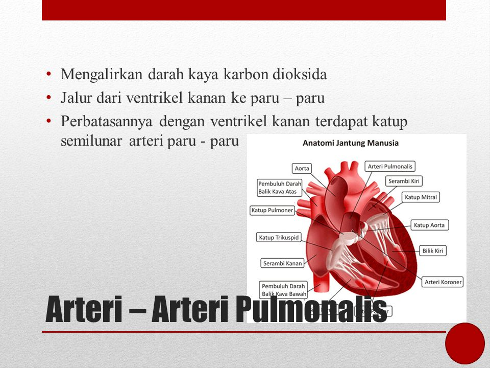 Arteri – Arteri Pulmonalis