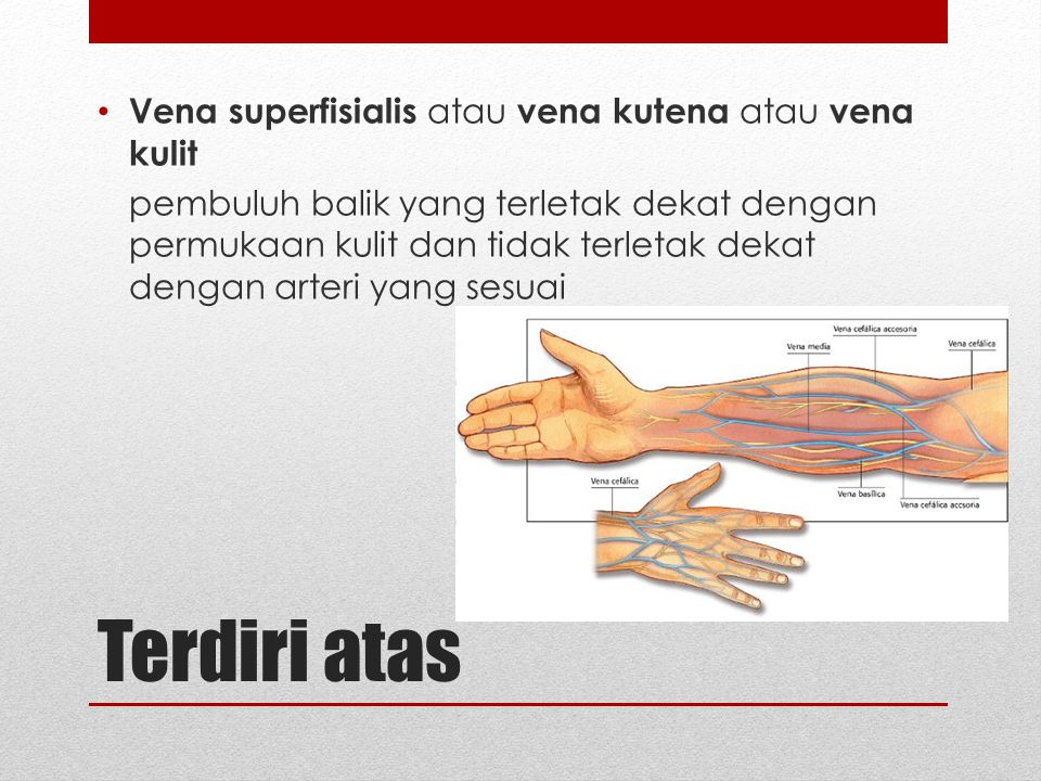 Terdiri atas Vena superfisialis atau vena kutena atau vena kulit