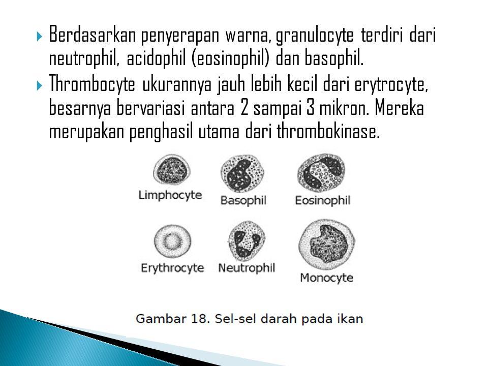 Berdasarkan penyerapan warna, granulocyte terdiri dari neutrophil, acidophil (eosinophil) dan basophil.