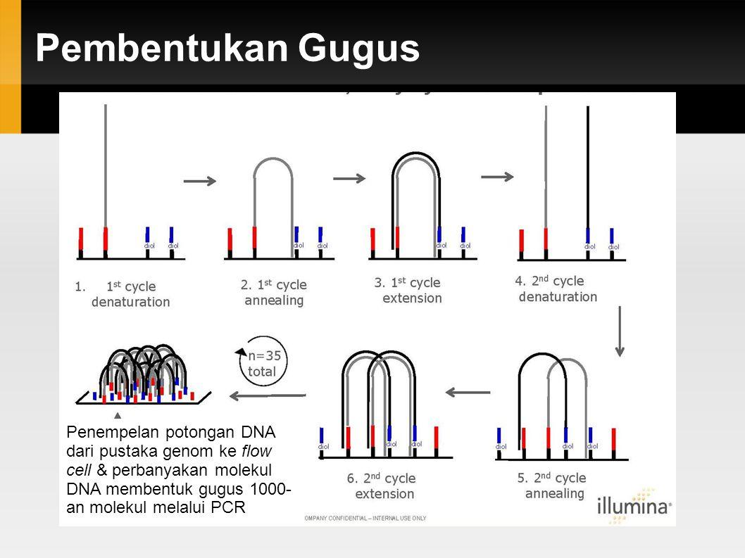 Pembentukan Gugus Penempelan potongan DNA dari pustaka genom ke flow cell & perbanyakan molekul DNA membentuk gugus 1000-an molekul melalui PCR.