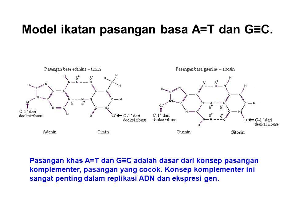 Model ikatan pasangan basa A=T dan G≡C.