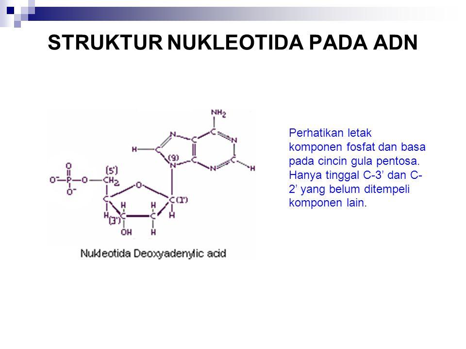 STRUKTUR NUKLEOTIDA PADA ADN