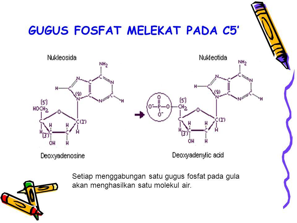 GUGUS FOSFAT MELEKAT PADA C5'
