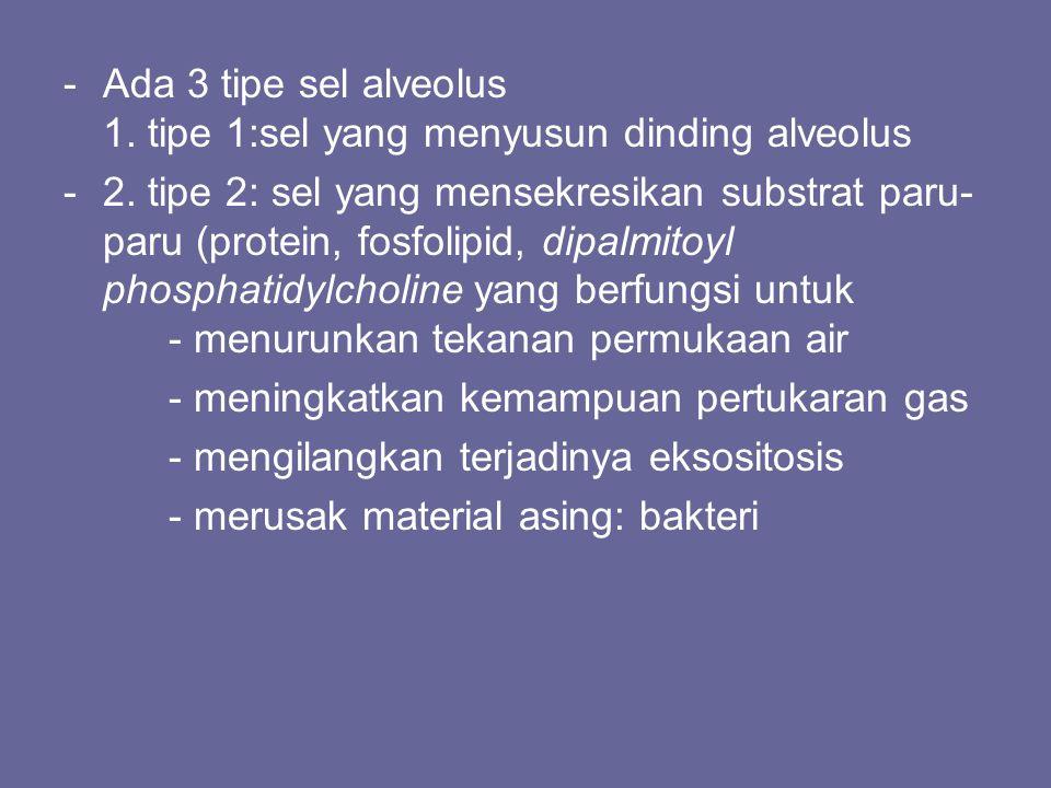 Ada 3 tipe sel alveolus 1. tipe 1:sel yang menyusun dinding alveolus