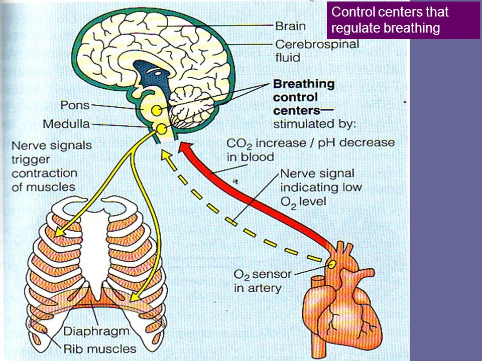 Control centers that regulate breathing