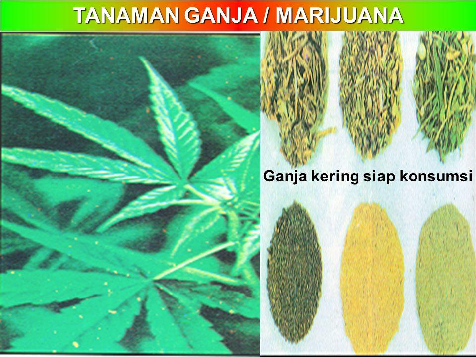 TANAMAN GANJA / MARIJUANA