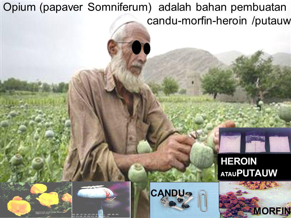 Opium (papaver Somniferum) adalah bahan pembuatan candu-morfin-heroin /putauw
