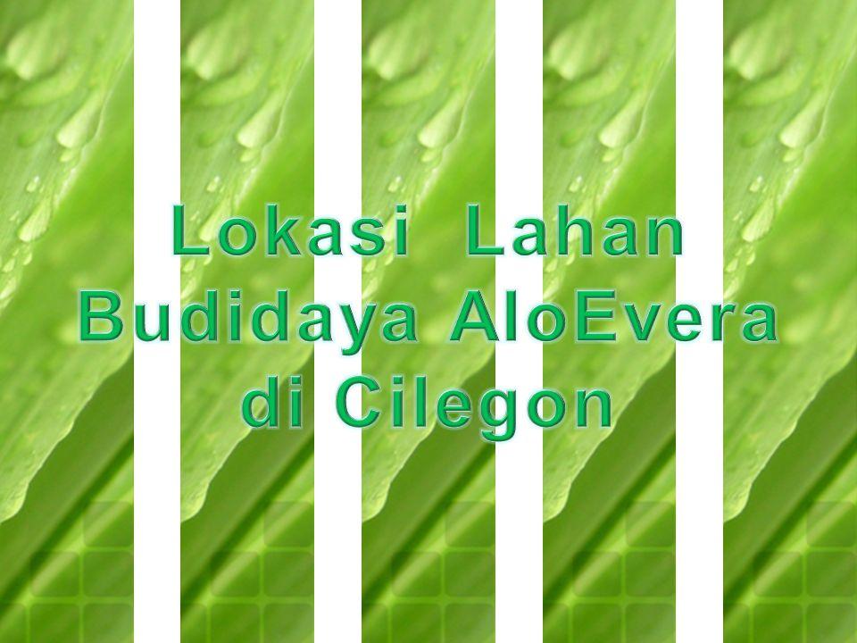 Lokasi Lahan Budidaya AloEvera di Cilegon