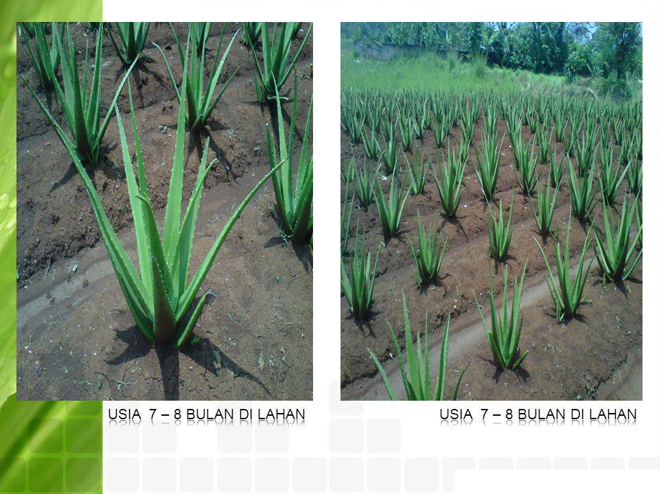 Usia 7 – 8 bulan di lahan Usia 7 – 8 bulan di lahan