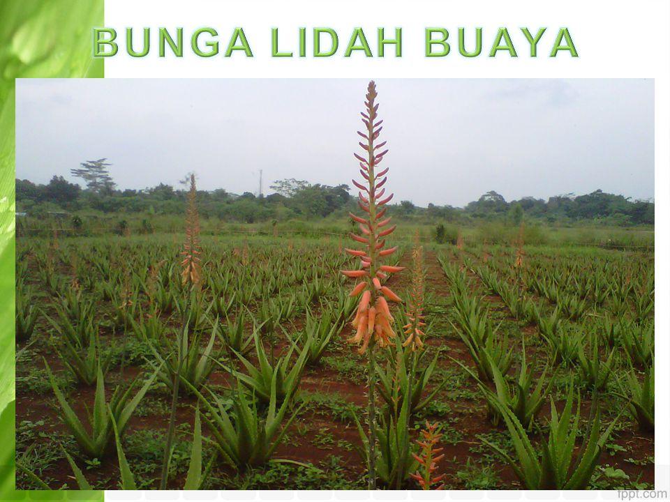 BUNGA LIDAH BUAYA
