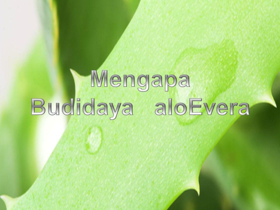 Mengapa Budidaya aloEvera