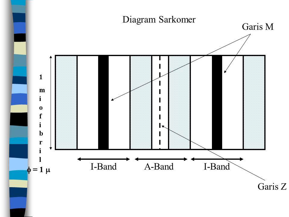 Diagram Sarkomer Garis M I-Band A-Band I-Band Garis Z  = 1  1