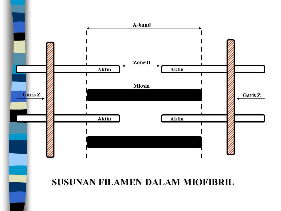 SUSUNAN FILAMEN DALAM MIOFIBRIL