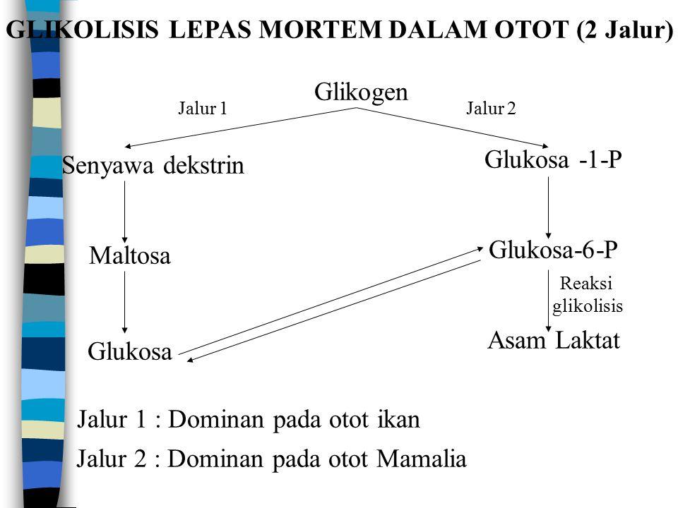 GLIKOLISIS LEPAS MORTEM DALAM OTOT (2 Jalur)
