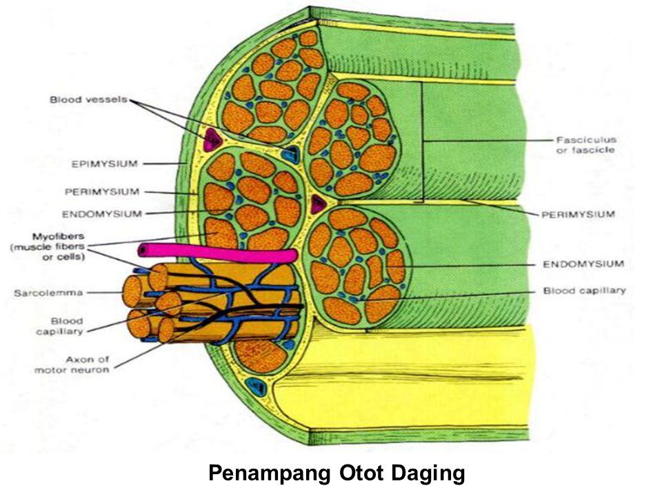 Penampang Otot Daging