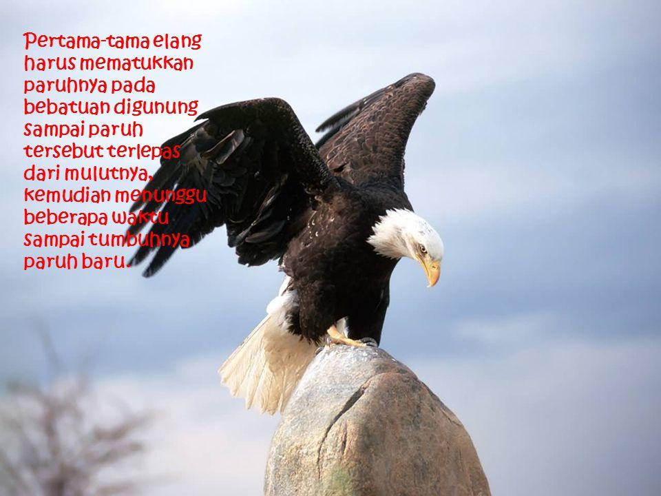 Pertama-tama elang harus mematukkan paruhnya pada bebatuan digunung sampai paruh tersebut terlepas dari mulutnya, kemudian menunggu beberapa waktu sampai tumbuhnya paruh baru.