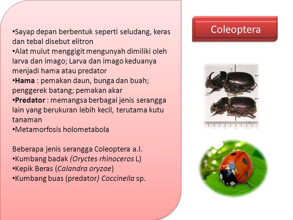 Coleoptera Sayap depan berbentuk seperti seludang, keras dan tebal disebut elitron.