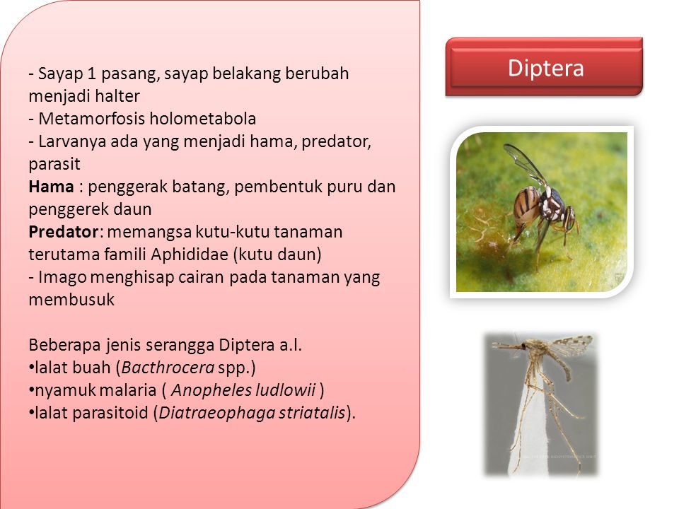 Diptera - Sayap 1 pasang, sayap belakang berubah menjadi halter