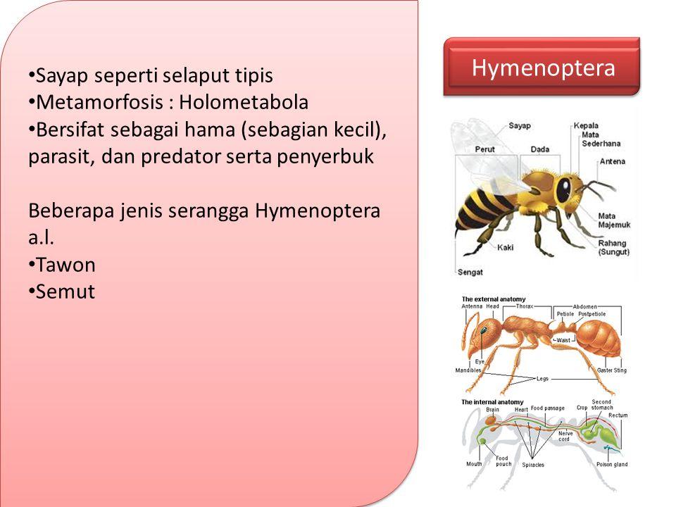 Hymenoptera Sayap seperti selaput tipis Metamorfosis : Holometabola