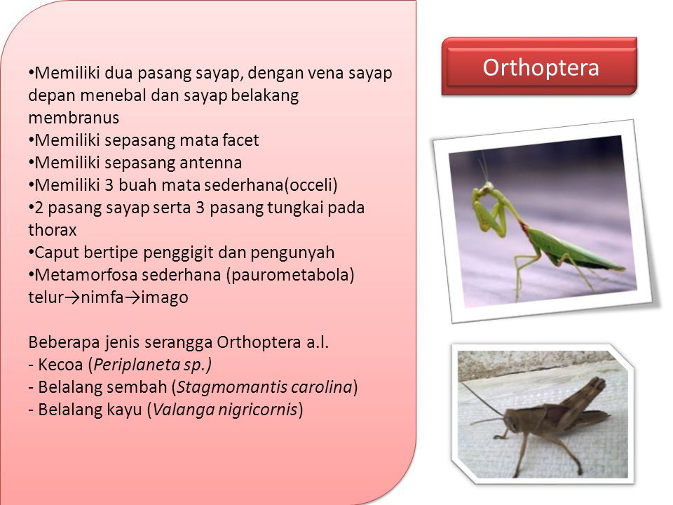 Orthoptera Memiliki dua pasang sayap, dengan vena sayap depan menebal dan sayap belakang membranus.