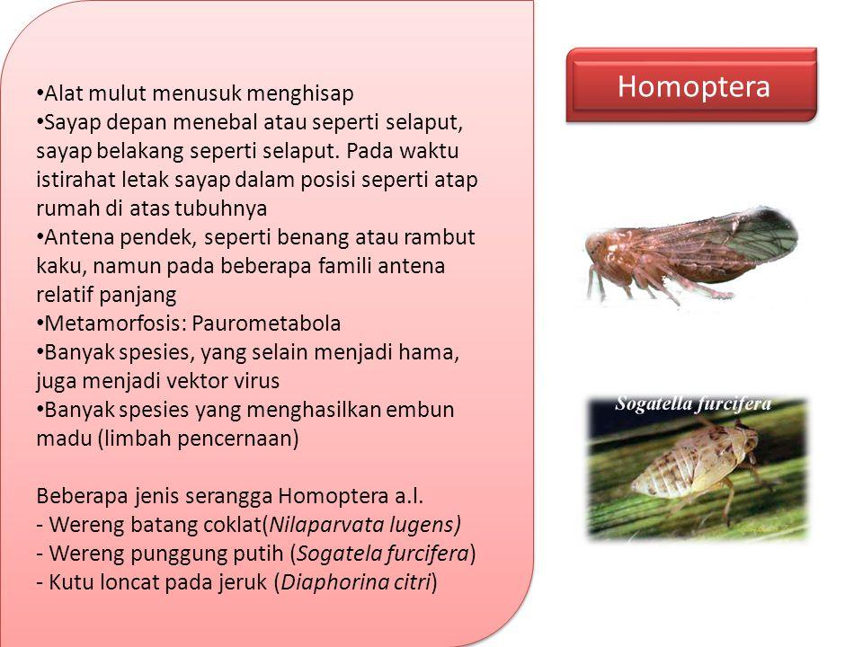 Homoptera Alat mulut menusuk menghisap