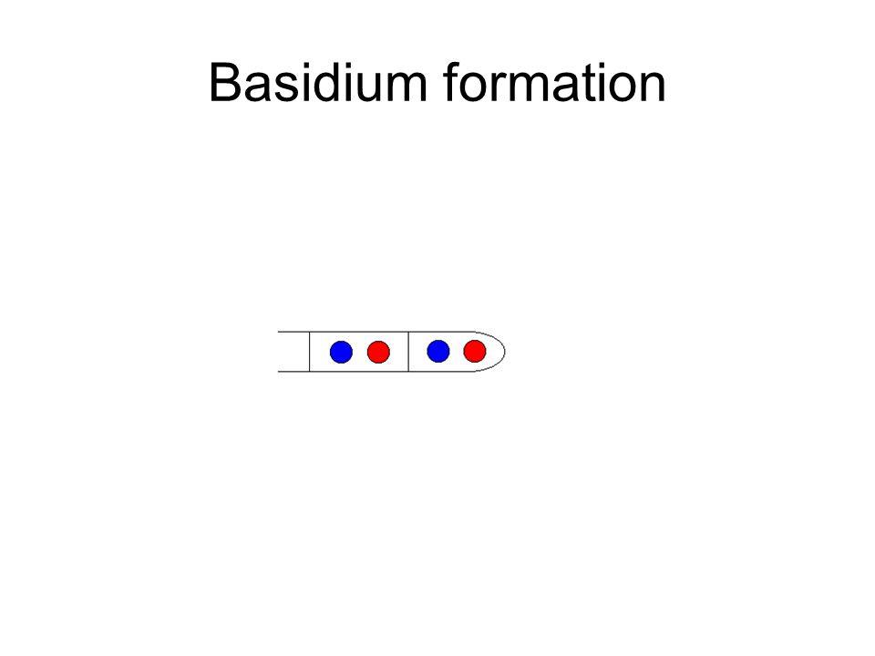 Basidium formation