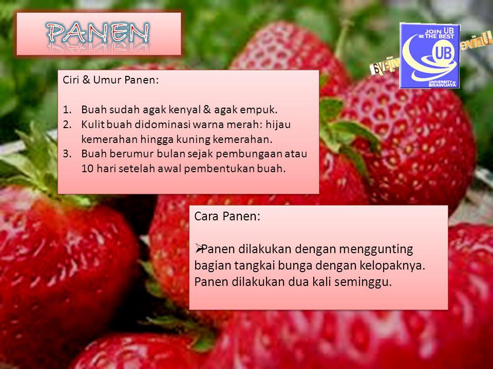 PANEN Ciri & Umur Panen: Buah sudah agak kenyal & agak empuk. Kulit buah didominasi warna merah: hijau kemerahan hingga kuning kemerahan.