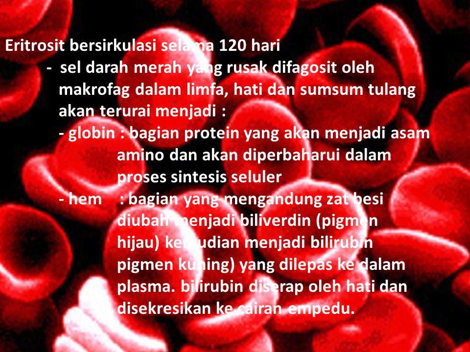 Eritrosit bersirkulasi selama 120 hari - sel darah merah yang rusak difagosit oleh makrofag dalam limfa, hati dan sumsum tulang akan terurai menjadi : - globin : bagian protein yang akan menjadi asam amino dan akan diperbaharui dalam proses sintesis seluler - hem : bagian yang mengandung zat besi diubah menjadi biliverdin (pigmen hijau) kemudian menjadi bilirubin pigmen kuning) yang dilepas ke dalam plasma.