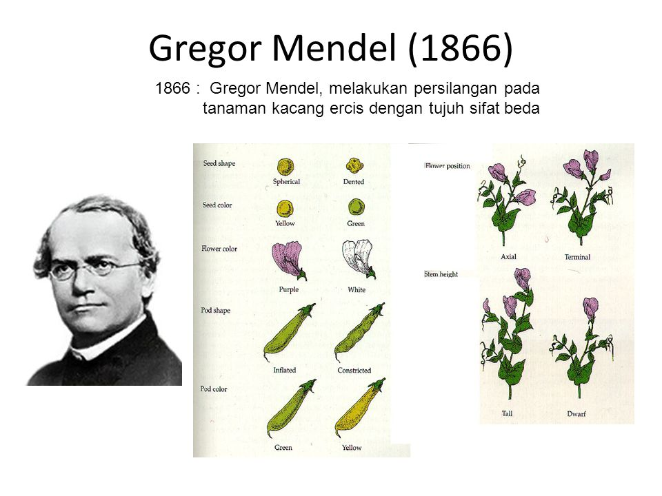 Gregor Mendel (1866) 1866 : Gregor Mendel, melakukan persilangan pada tanaman kacang ercis dengan tujuh sifat beda.