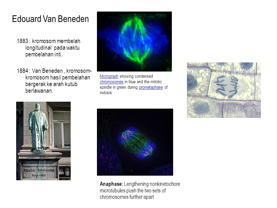 Edouard Van Beneden 1883 : kromosom membelah longitudinal pada waktu pembelahan inti.