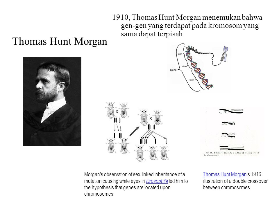 1910, Thomas Hunt Morgan menemukan bahwa gen-gen yang terdapat pada kromosom yang sama dapat terpisah