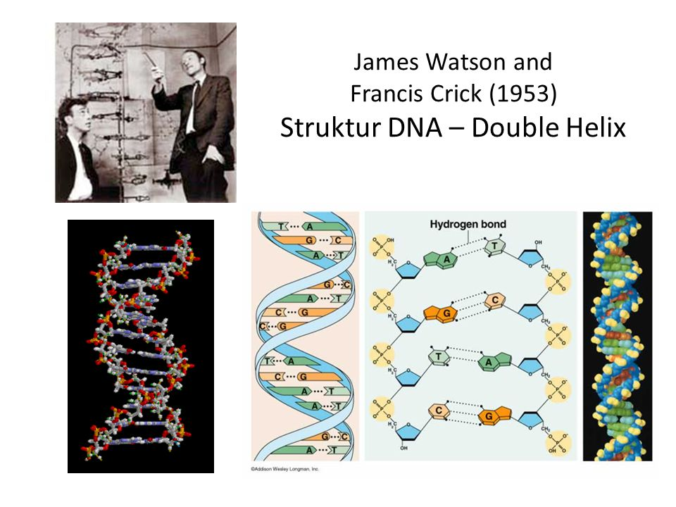 James Watson and Francis Crick (1953) Struktur DNA – Double Helix