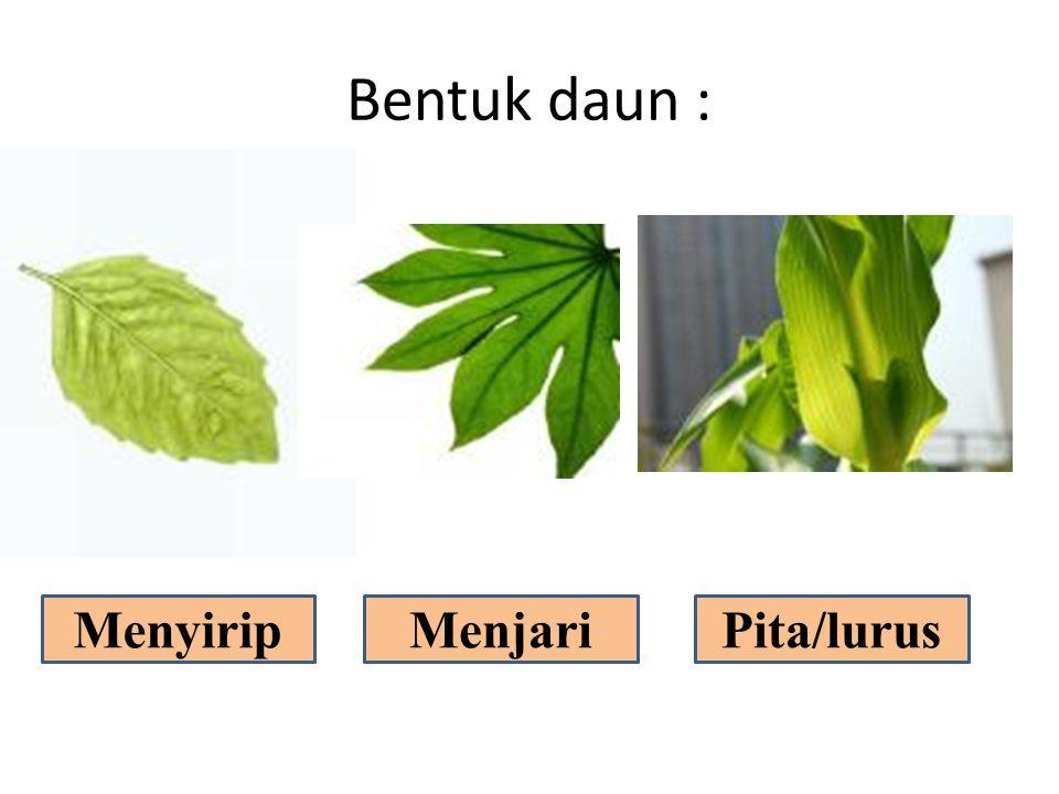 Bentuk daun : Menyirip Menjari Pita/lurus