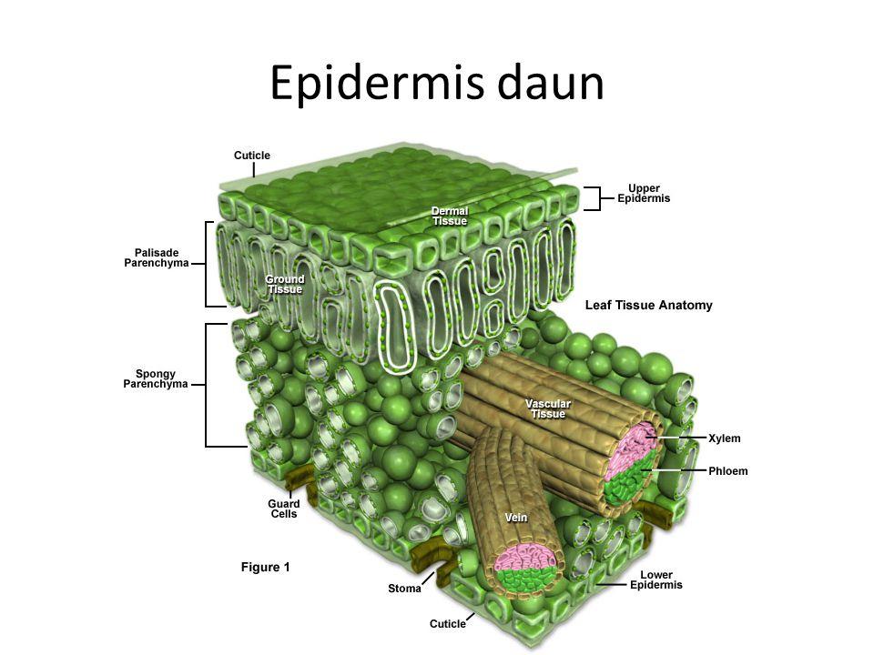 Epidermis daun