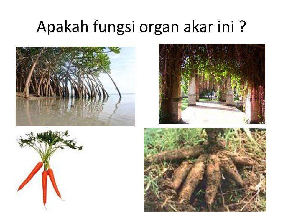 Apakah fungsi organ akar ini