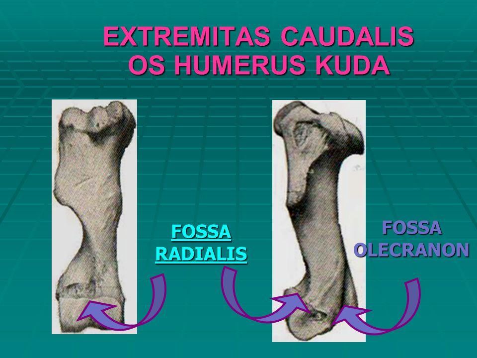 EXTREMITAS CAUDALIS OS HUMERUS KUDA