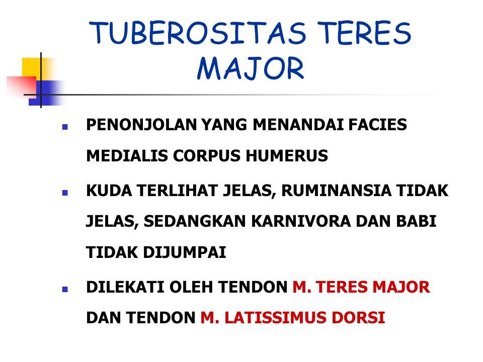 TUBEROSITAS TERES MAJOR
