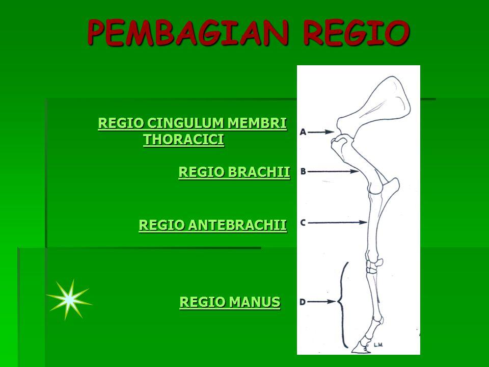 PEMBAGIAN REGIO REGIO CINGULUM MEMBRI THORACICI REGIO BRACHII