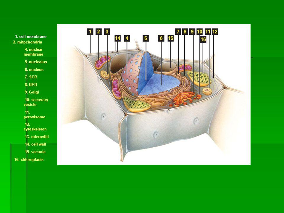 1. cell membrane