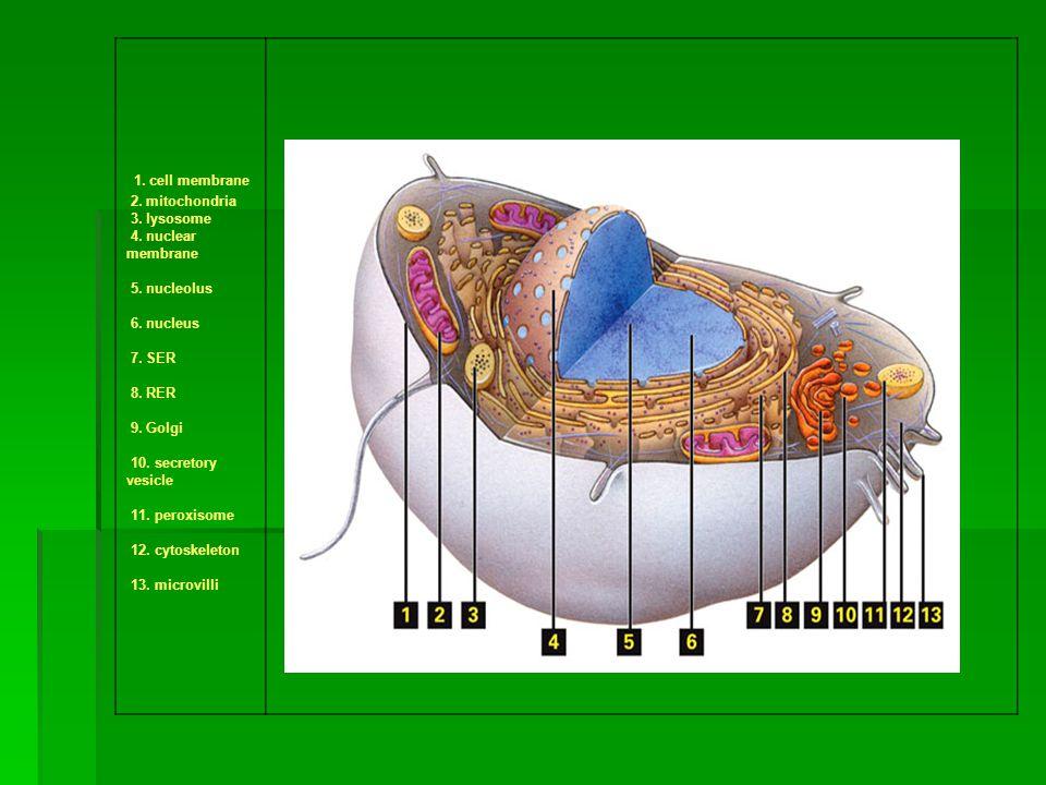 1. cell membrane 2. mitochondria 3. lysosome