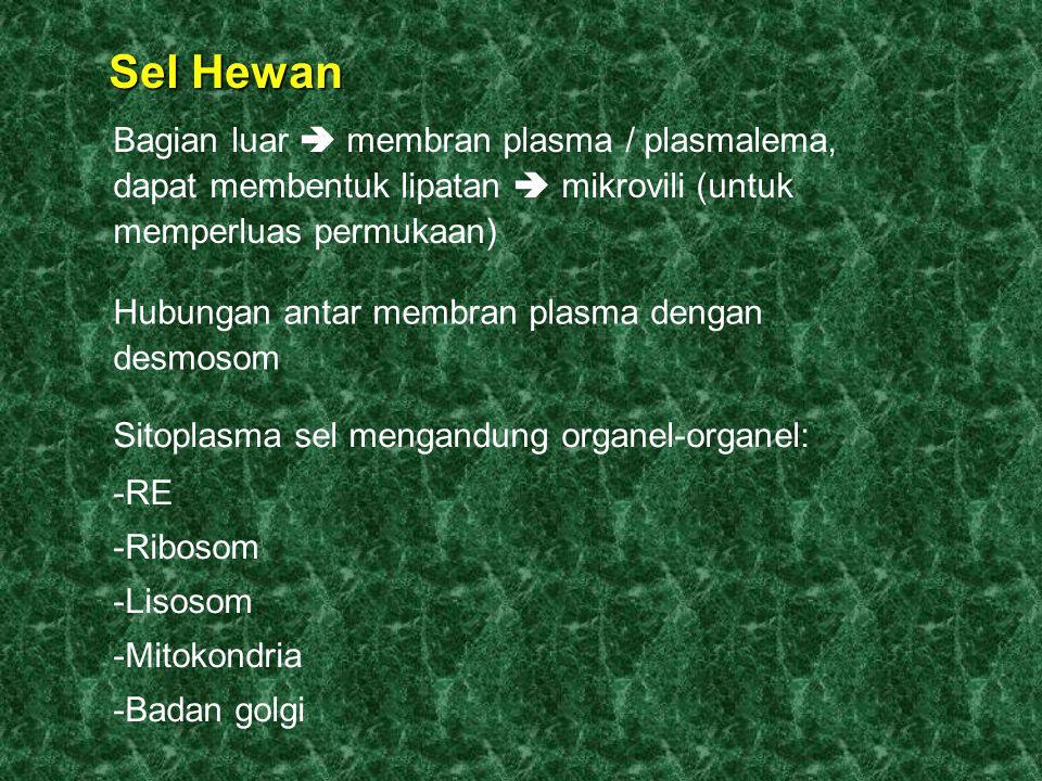 Sel Hewan Bagian luar  membran plasma / plasmalema, dapat membentuk lipatan  mikrovili (untuk memperluas permukaan)