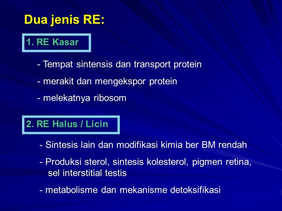 Dua jenis RE: 1. RE Kasar Tempat sintensis dan transport protein