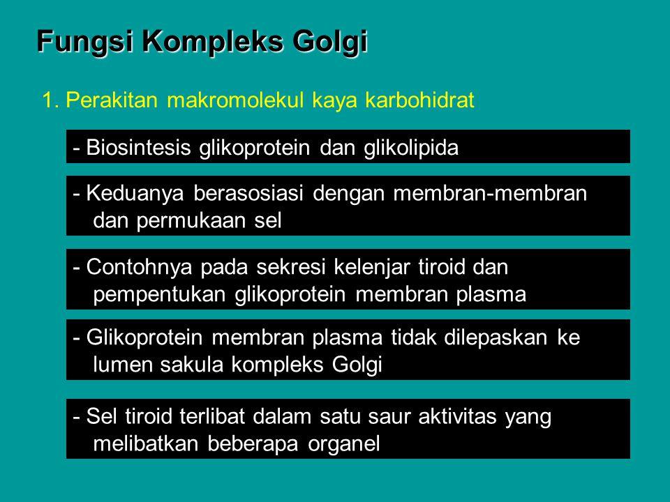 Fungsi Kompleks Golgi 1. Perakitan makromolekul kaya karbohidrat